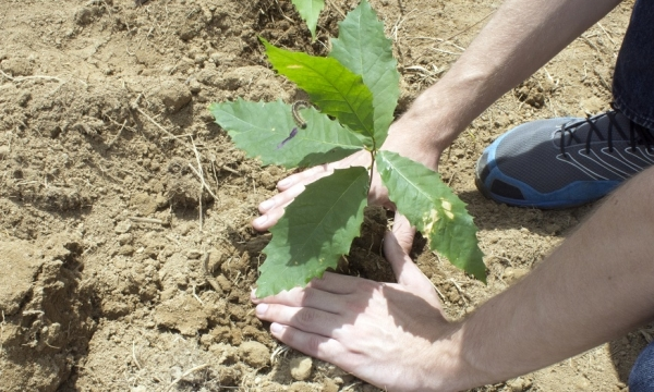 A volunteer plants a Chestnut seedling.