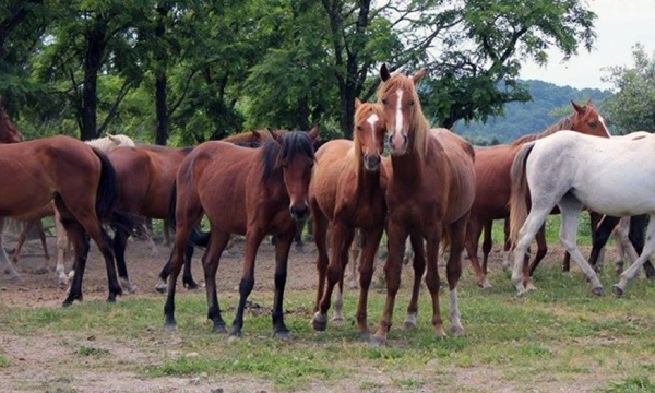Photo of free-roaming horse herd in Breathitt County